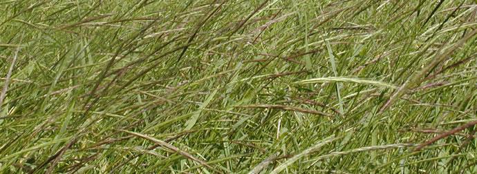 Cultivo de la Zizania palustris, arroz salvaje